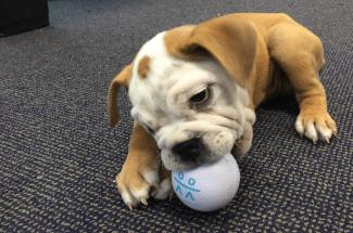 RP bulldog chews RP ball